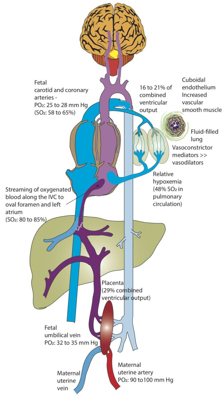 hight resolution of fetal circulation the placenta serves as a major buffer in reducing oxygen exposure to the