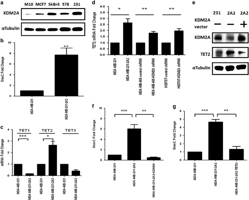 KDM2A inhibits the expression of TET2 to reduce the 5′-hmc