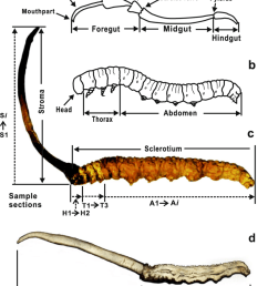 schematic diagram illustrating the digestive tract a host larva b  [ 850 x 1050 Pixel ]
