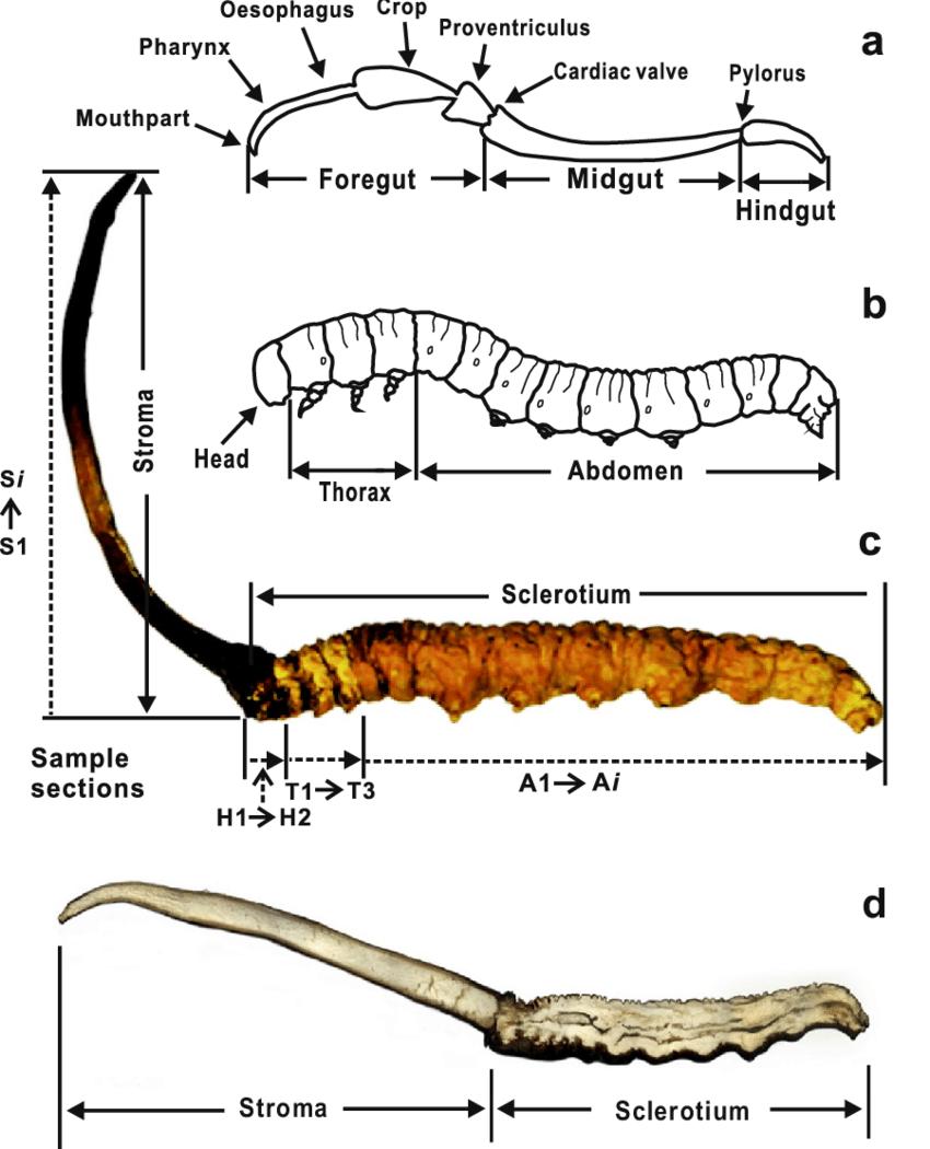 medium resolution of schematic diagram illustrating the digestive tract a host larva b
