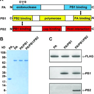 Biochemical characterization of purified influenza polymerase proteins.... | Download Scientific Diagram