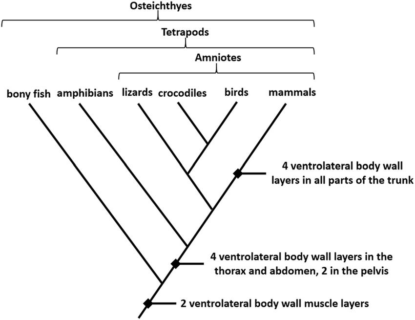 Cladogram Of Major Vertebrate Classes Demonstrating The