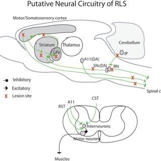 Putative neural circuits of RLS. Corticospinal tract