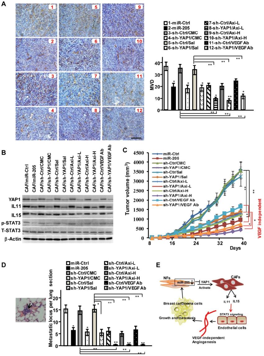 medium resolution of mir 205 and shrna against yap1 block vegf independent angiogenesis in download scientific diagram