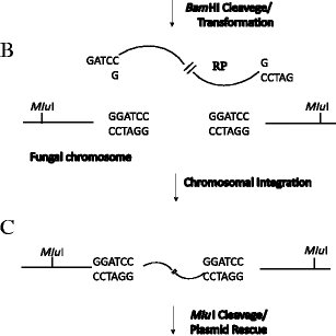 Schematic overview of the Agrobacterium tumefaciens T-DNA