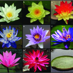 Lotus In Water Plant Diagram Jane Schaffer Spider Example Lilies Are Ornamental Plants With Beautiful Flowers And Leaves Download Scientific