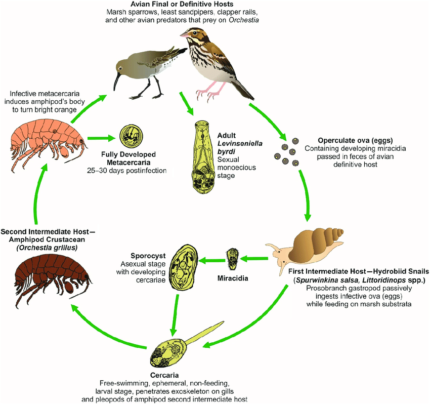 bird life cycle diagram 7 way vehicle connector wiring levinseniella byrdi adult l sexually reproduce within ceca and rectum of shore marsh birds definitive hosts