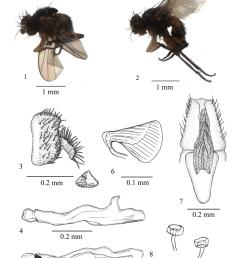 japanagromyza arcuaria sp nov 1 adult male lateral view 2 adult download scientific diagram [ 850 x 1108 Pixel ]