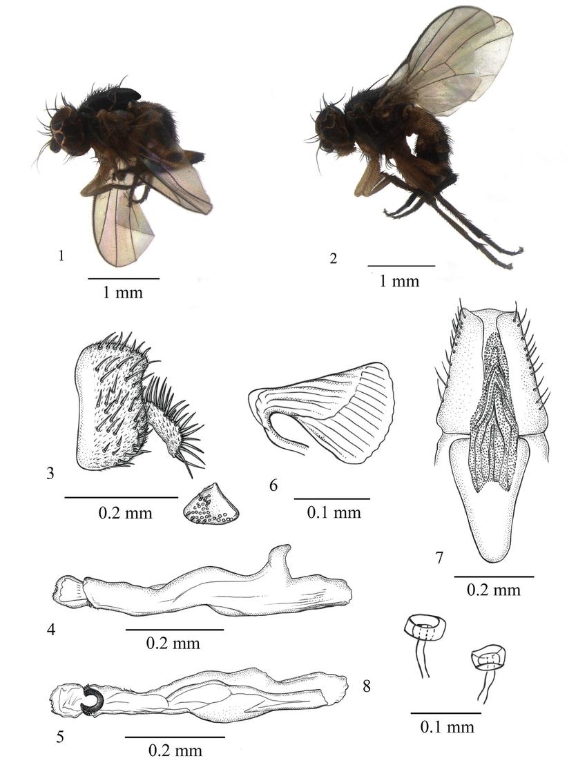 medium resolution of japanagromyza arcuaria sp nov 1 adult male lateral view 2 adult download scientific diagram