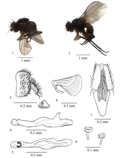 small resolution of japanagromyza arcuaria sp nov 1 adult male lateral view 2 adult download scientific diagram