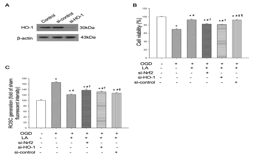The effect of α-LA on ROS scavenging and cell viability of