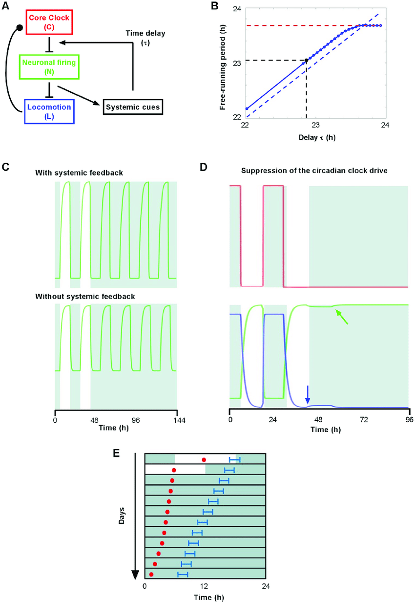 hight resolution of modeling the regulation of scn outputs by systemic feedback a diagram depicting functional interactions