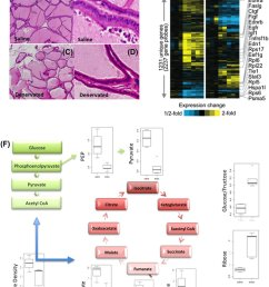 effects of denervation on histopathology of normal rat prostate and download scientific diagram [ 850 x 1154 Pixel ]