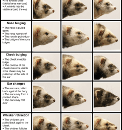 the ferret grimace scale photographs visualizing the normal appearance download scientific diagram [ 850 x 1070 Pixel ]