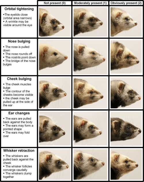 small resolution of the ferret grimace scale photographs visualizing the normal appearance download scientific diagram