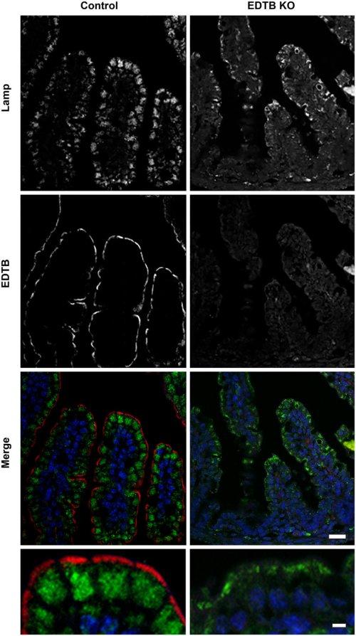 small resolution of immunofluorescent labeling of ileum using the lysosome marker lamp1 green