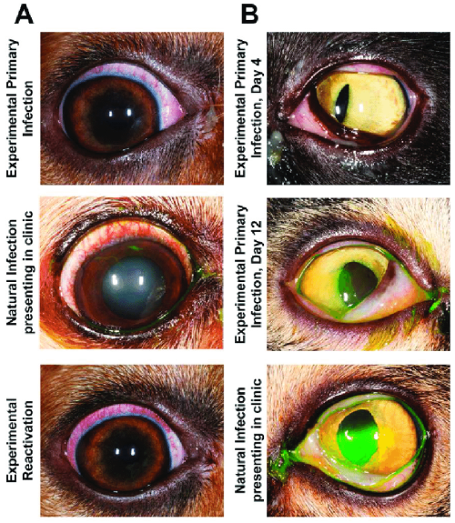 small resolution of clinical presentation of experimental and clinical infection of ocular herpesviruses in dogs and cats