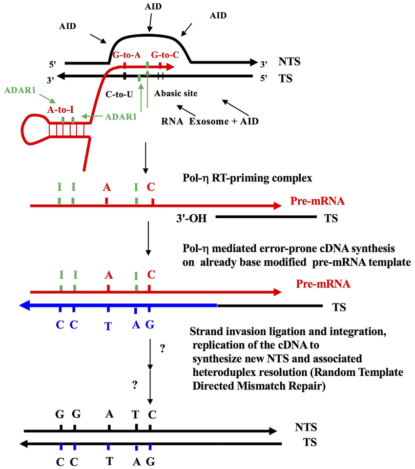 hight resolution of the reverse transcriptase mechanism of somatic hypermutation shm some elements of this