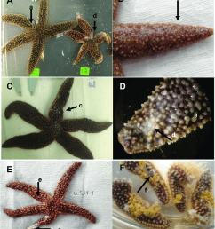 gross morphological signs of sea star wasting disease representative images of a forbesi affected [ 850 x 982 Pixel ]
