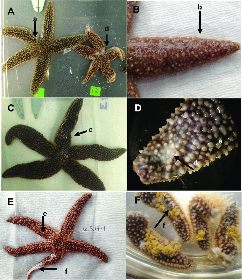 hight resolution of gross morphological signs of sea star wasting disease representative images of a forbesi affected