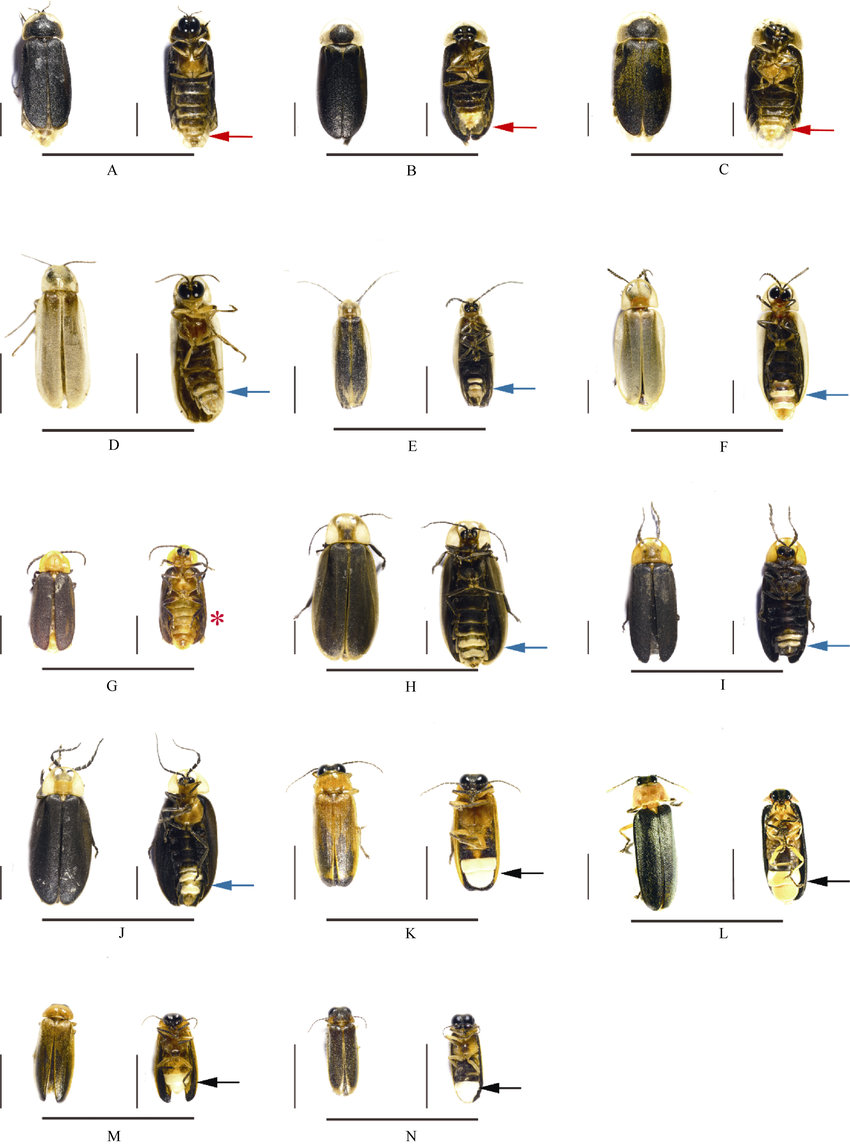 hight resolution of habitus of 14 firefly species all figures show dorsal view on the left and ventral