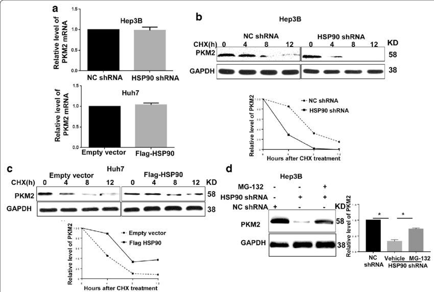 HSP90 regulated the stability of the PKM2 protein in HCC