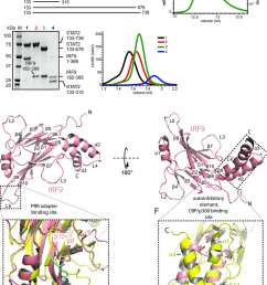 characterization of the stat2 irf9 complex and structure determination of the irf9 iad  [ 850 x 1163 Pixel ]