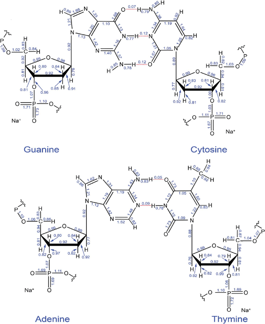 medium resolution of computed ddec6 bond orders in the guanine cytosine and adenine thymine base pairs