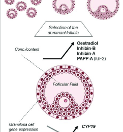 hallmarks of human small antral follicle development implications for regulation of ovarian steroidogenesis and [ 731 x 1116 Pixel ]