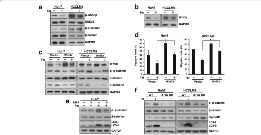 Autophagy-dependent Wnt/β-catenin pathway was involved in