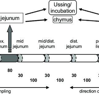 Intestinal tight junction proteins. Schematic