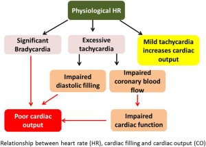 Relationship between heart rate (HR), cardiac filling, and