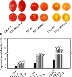 phenotypes of wild type and slmyb12 overexpressing tomatoes a download scientific diagram [ 850 x 975 Pixel ]