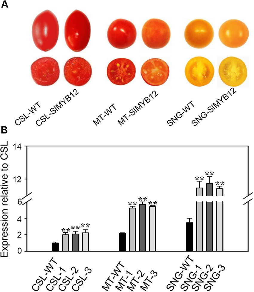 medium resolution of phenotypes of wild type and slmyb12 overexpressing tomatoes a download scientific diagram
