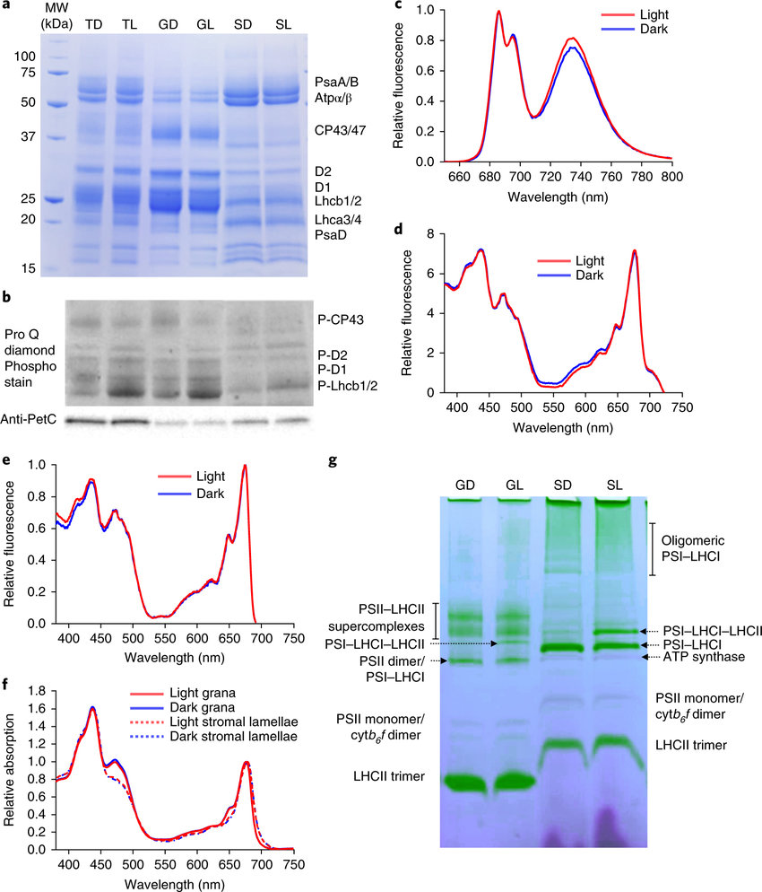 medium resolution of biochemical and spectroscopic analysis of dark and growth light adapted thylakoids a sds