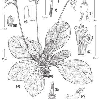 Primulina maguanensis (A, B), P. lungzhouensis (D, E), P