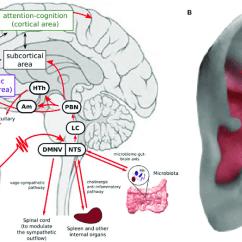 Vagus Nerve Diagram 1997 Buick Lesabre Belt A Transcutaneous Auricular Stimulation Tavns Can Download Scientific
