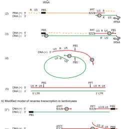 different processes of reverse transcription in retroviruses a classical model of reverse transcription [ 850 x 1202 Pixel ]