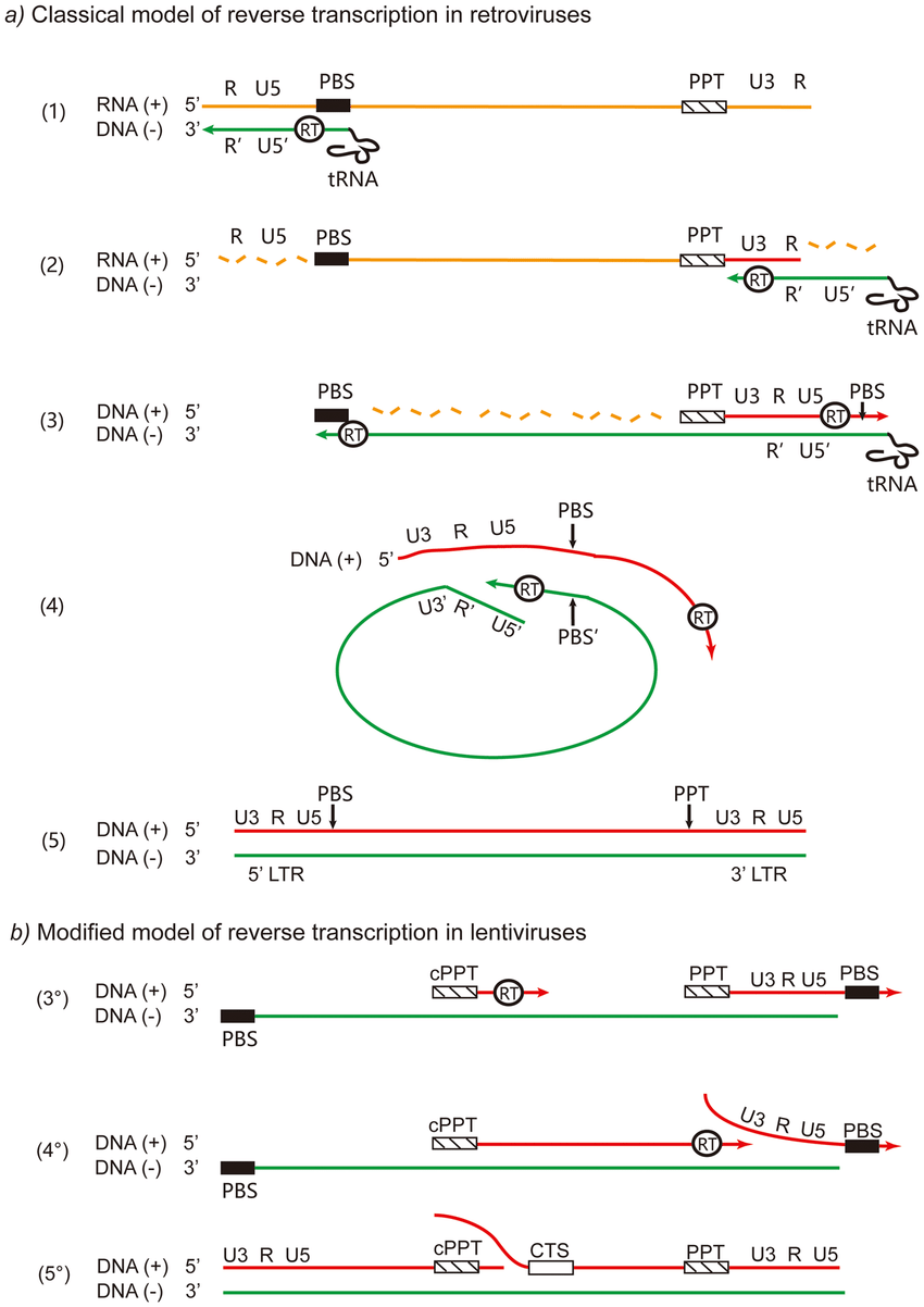 hight resolution of different processes of reverse transcription in retroviruses a classical model of reverse transcription