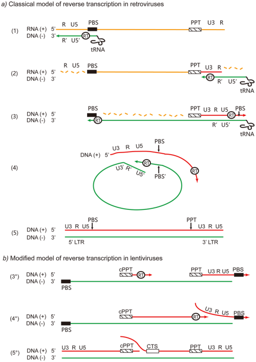small resolution of different processes of reverse transcription in retroviruses a classical model of reverse transcription