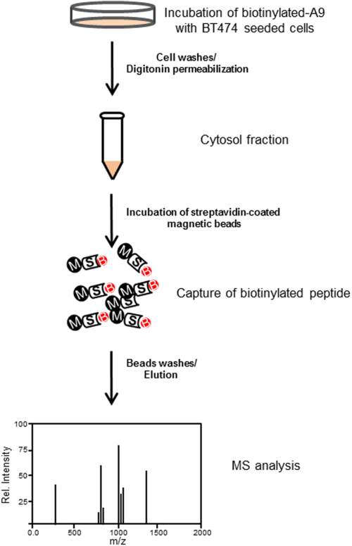 small resolution of schematic diagram of affinity tag in an in vitro pull down assay and mass spectrometry