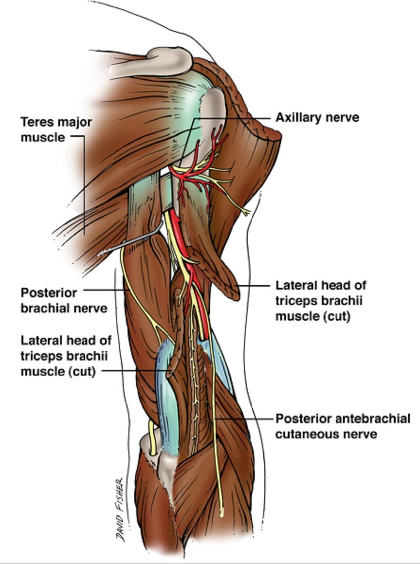 hight resolution of schematic drawing of the radial nerve as it courses in the posterior arm also note