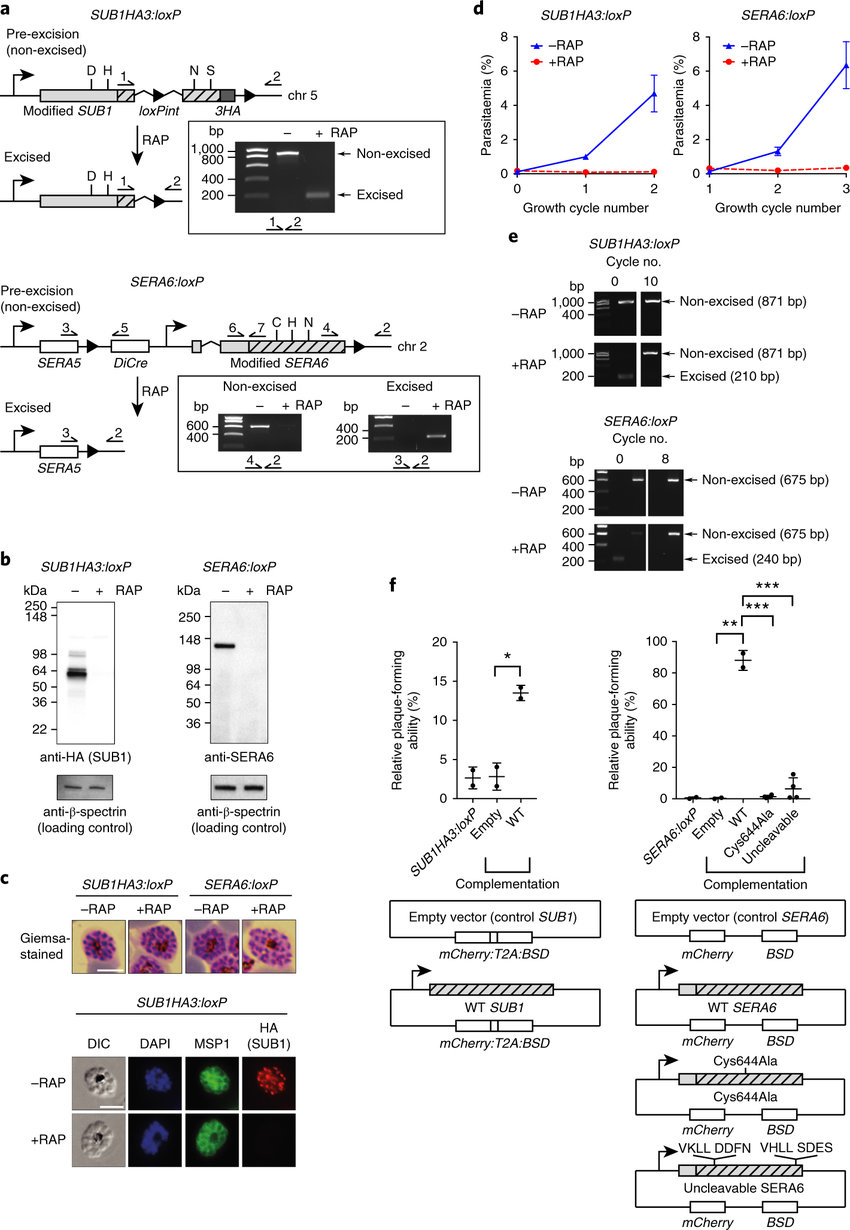 hight resolution of sub1 and sera6 are essential for asexual blood stage p falciparum growth a architecture