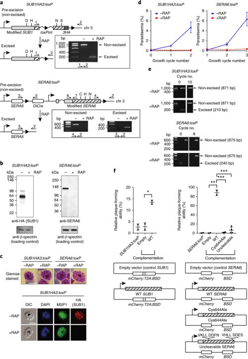 small resolution of sub1 and sera6 are essential for asexual blood stage p falciparum growth a architecture