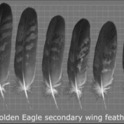 Eagle Wing Diagram Nerves In Neck And Shoulder Rounded Edge Notches Of A Golden 17 Download Scientific