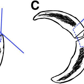 —anatomy of anterior meniscal roots. lara: lateral