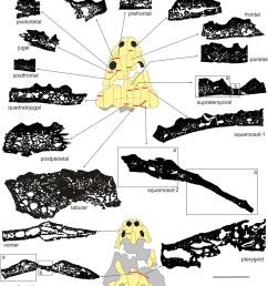 general microstructure of skull bones in metoposaurus krasiejowensis uopb 01029 all bones are [ 850 x 964 Pixel ]