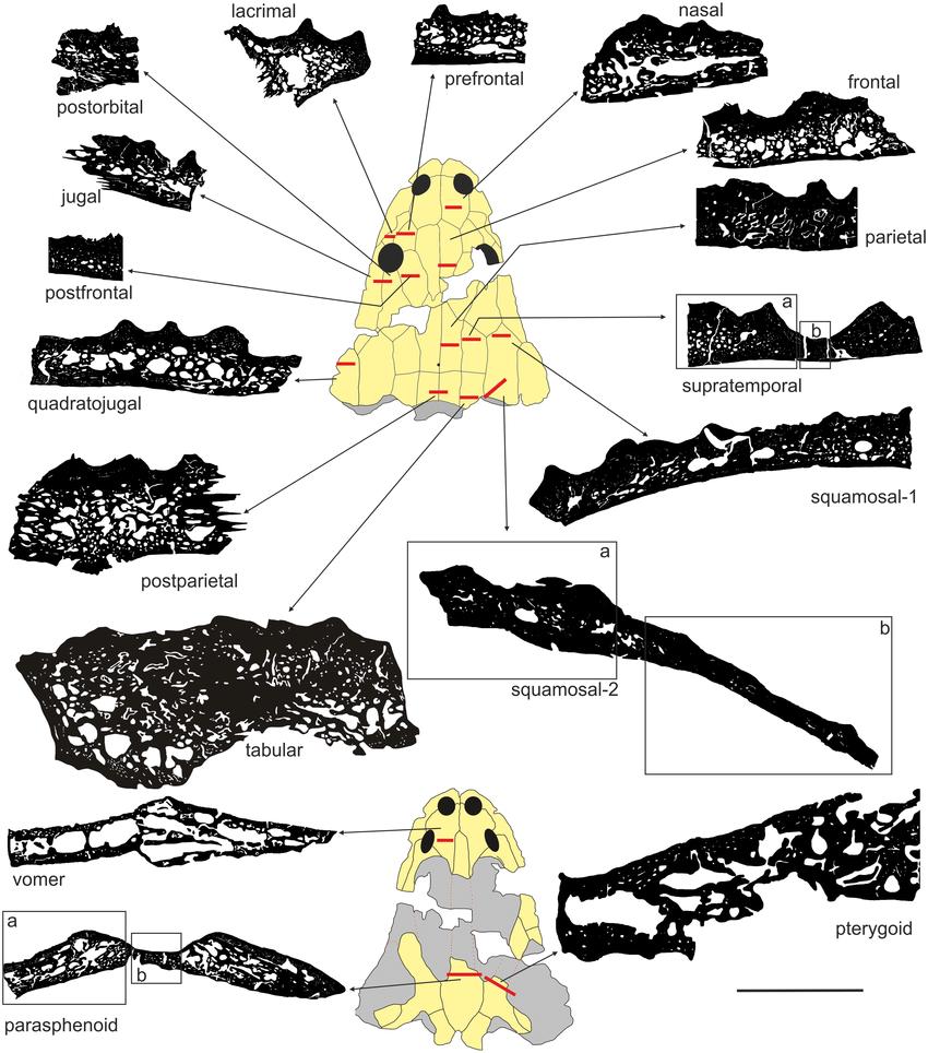 hight resolution of general microstructure of skull bones in metoposaurus krasiejowensis uopb 01029 all bones are
