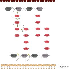 Bacteria Structure Diagram 1997 Wrangler Radio Wiring Of The Typical Cell Wall And Peptidoglycan Including Endolysin Cleavage Sites Is Composed Repeating
