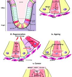 wnt signalling in the mammalian intestine during homeostasis download scientific diagram [ 850 x 1161 Pixel ]